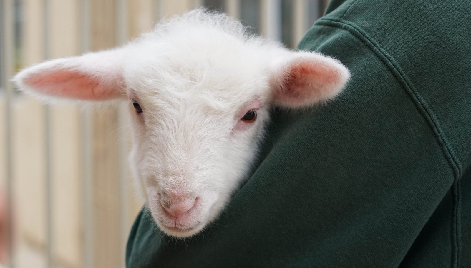 Cute to the Max: This Lamb is Melting Hearts - Farm Sanctuary